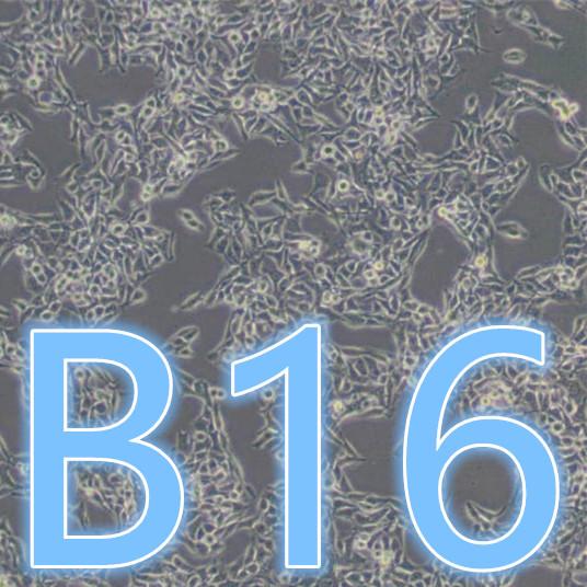 B16 / B16细胞 / B16小鼠黑色素瘤细胞