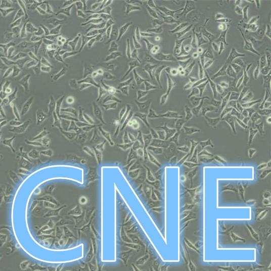CNE / CNE细胞 / CNE人鼻咽癌细胞