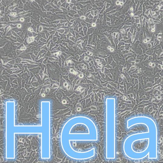 Hela / Hela细胞 / Hela人宫颈癌细胞