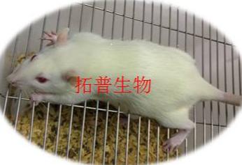 膀胱炎动物模型