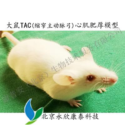 大鼠TAC(缩窄主动脉弓)致心肌肥厚模型