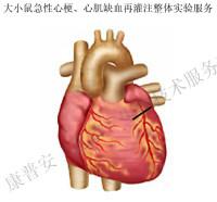 大鼠急性心梗、心肌缺血再灌注