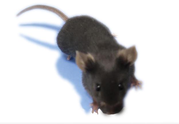 ACE2基因敲除小鼠