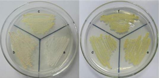 酵母菌规格