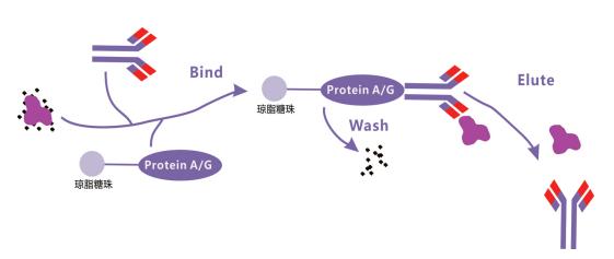 免疫沉淀(IP)实验
