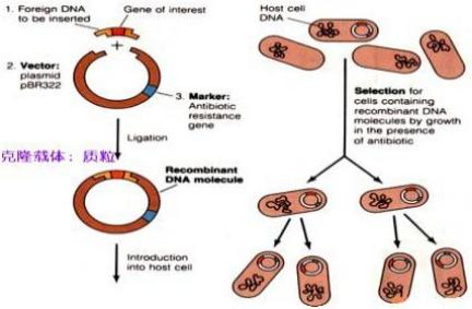 基因克隆/载体构建