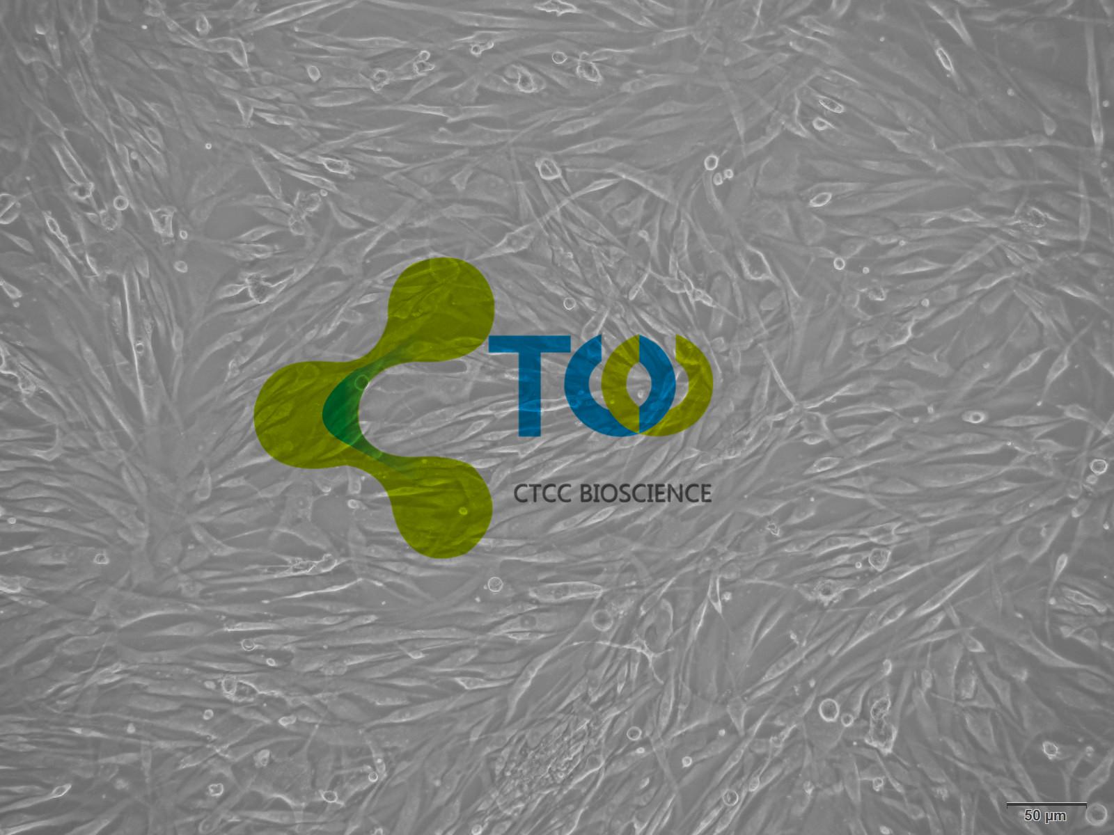 肺成纤维细胞