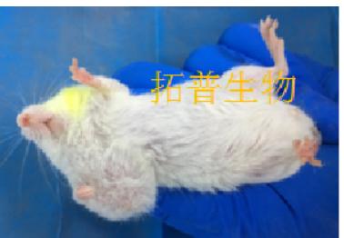 胃癌细胞SCG-7901裸鼠成瘤