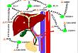 三张手绘教你读懂肝脏的淋巴回流