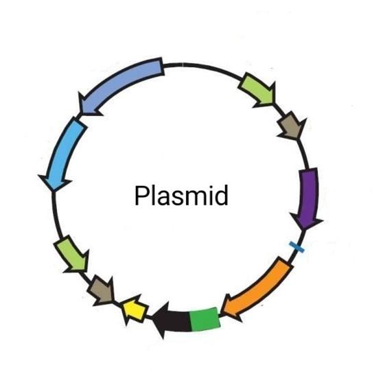 pcDNA3.1-HA-CCR7质粒