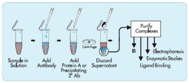 免疫共沉淀Co-IP——完整的免疫共沉淀实验报告单