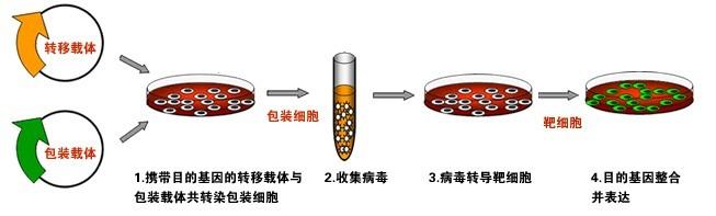 慢病毒包装——慢病毒包装实验报告单,对照病毒等