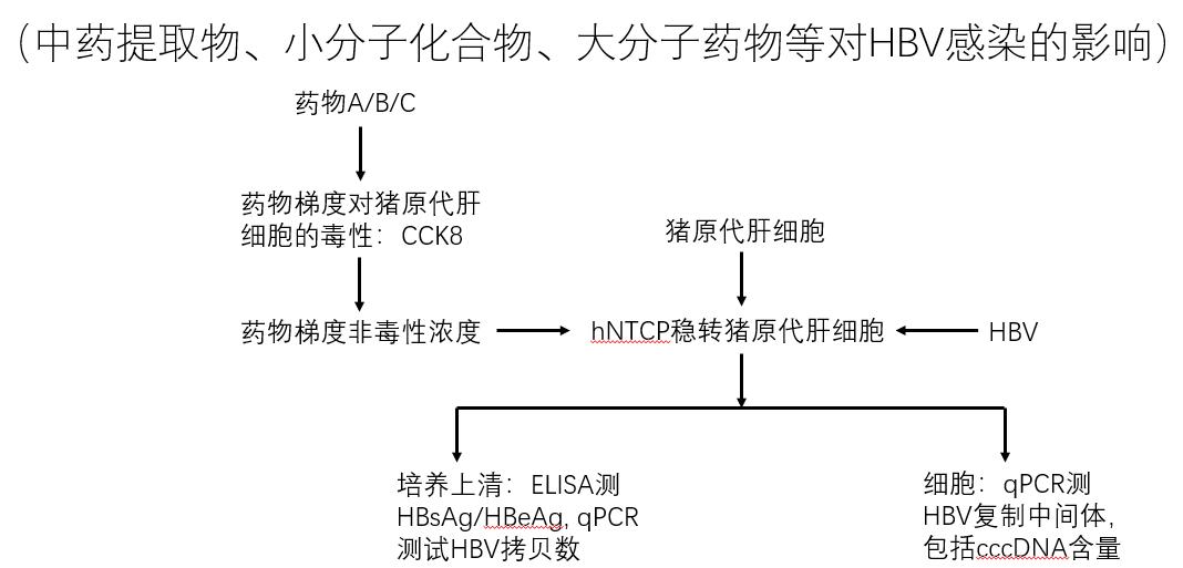 基于原代细胞的HBV感染药物评估