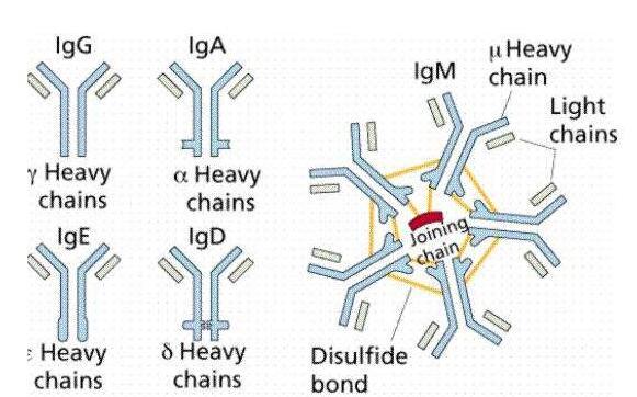 Anti-AURKA Polyclonal Antibody