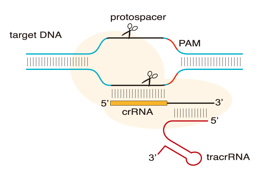 riboFECT mRNA Transfection Reagent