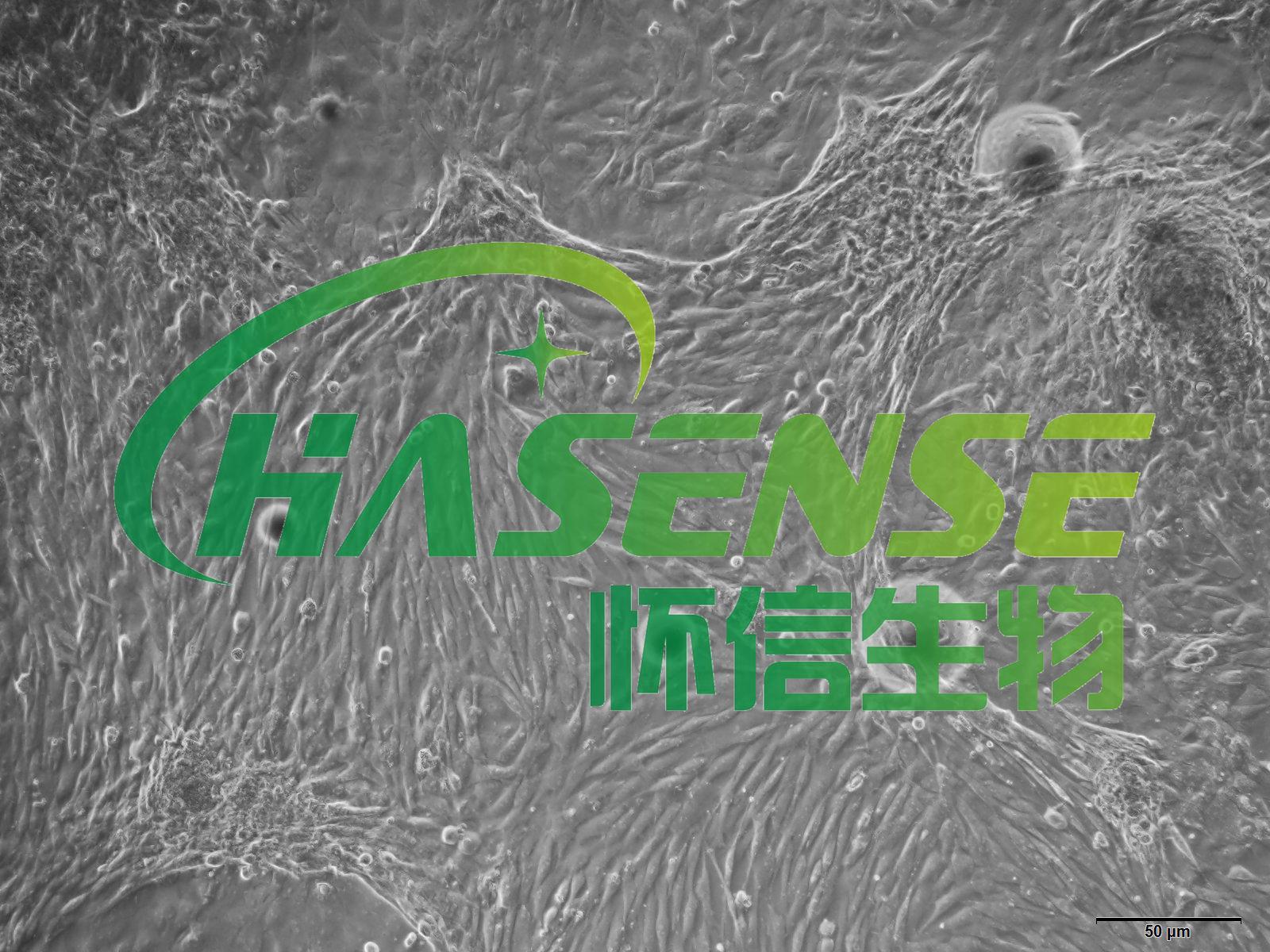 小鼠膀胱平滑肌细胞