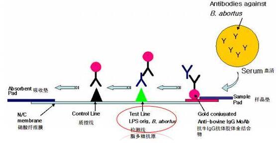 Anti-VCP Polyclonal Antibody