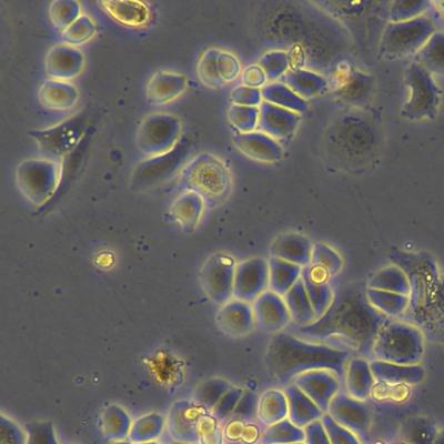 SK-BR-3(Cas9)人源乳腺乳腺癌上皮Cas9稳定持续表达细胞系