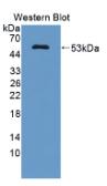 辅酶Q10同源物B(COQ10B)多克隆抗体