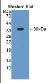 促泌素(SCGN)多克隆抗体