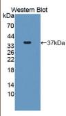 巨轴索神经蛋白(GAN)多克隆抗体