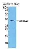 赖氨酰氧化酶样蛋白4(LOXL4)多克隆抗体