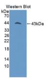 Misato同源物1(MSTO1)多克隆抗体