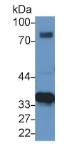 苹果酸脱氢酶2(MDH2)多克隆抗体