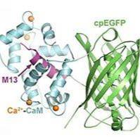 钙成像/腺相关病毒/Flp依赖rAAV-nEf1α-fDIO-GCaMp6f