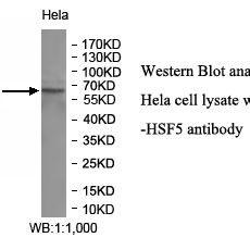 HSF5 Antibody
