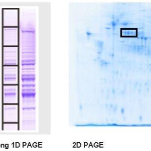 基于SDS-PAGE的蛋白分离