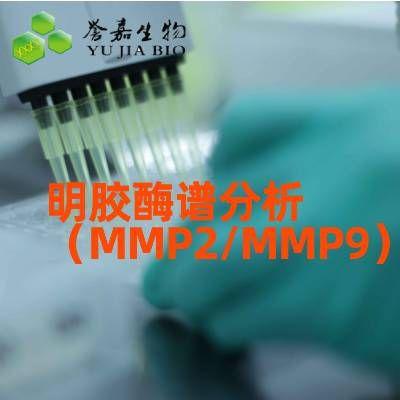 明胶酶谱分析(MMP2/MMP9)