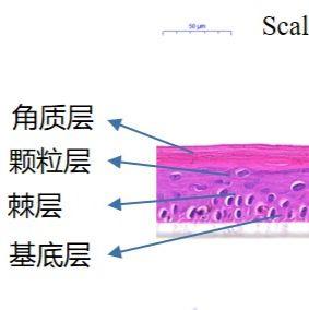 3D表皮模型