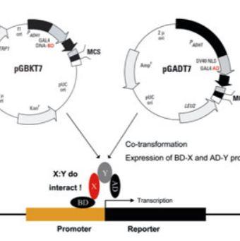 酵母双杂交文库构建、噬菌体多肽库+淘选