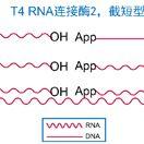 T4 RNA 连接酶2(K227Q)