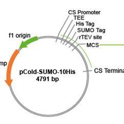 pCold-SUMO原核蛋白表达试剂盒