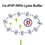 WB Super RIPA Lysis Buffer