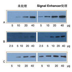 Western Blot 信号增强剂