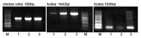 Goledn MLV Reverse Transcriptase