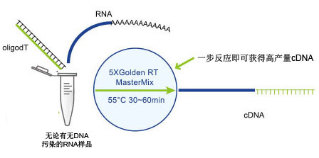 Golden 1st cDNA Synthesis Kit