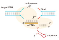 CRISPR基因编辑(效率保证)套装产品