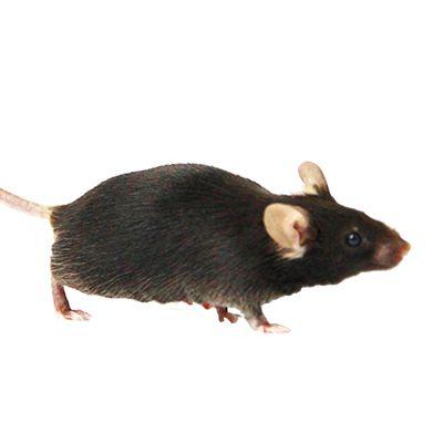 基因敲除活体小鼠