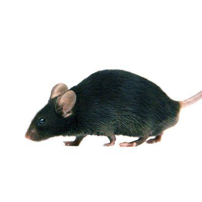 Cre工具大鼠