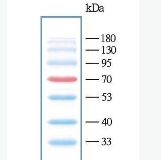 彩色预染蛋白marker(10-180kDa)