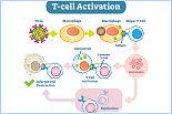 T 细胞活化