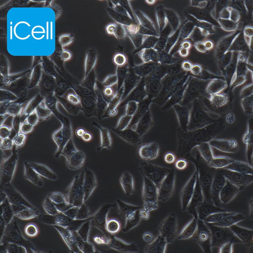 Hep-3B 人肝癌细胞/STR鉴定/赛百慷(iCell)