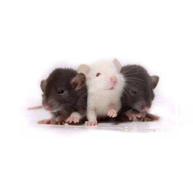 细胞株STR鉴定/小鼠细胞鉴定/细胞鉴定