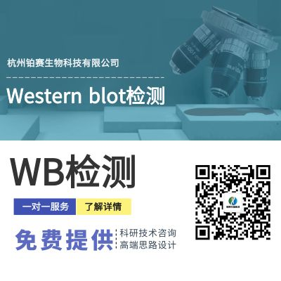 Western blot检测(WB)