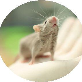 共生微生物研究的利器——GPT无菌鼠
