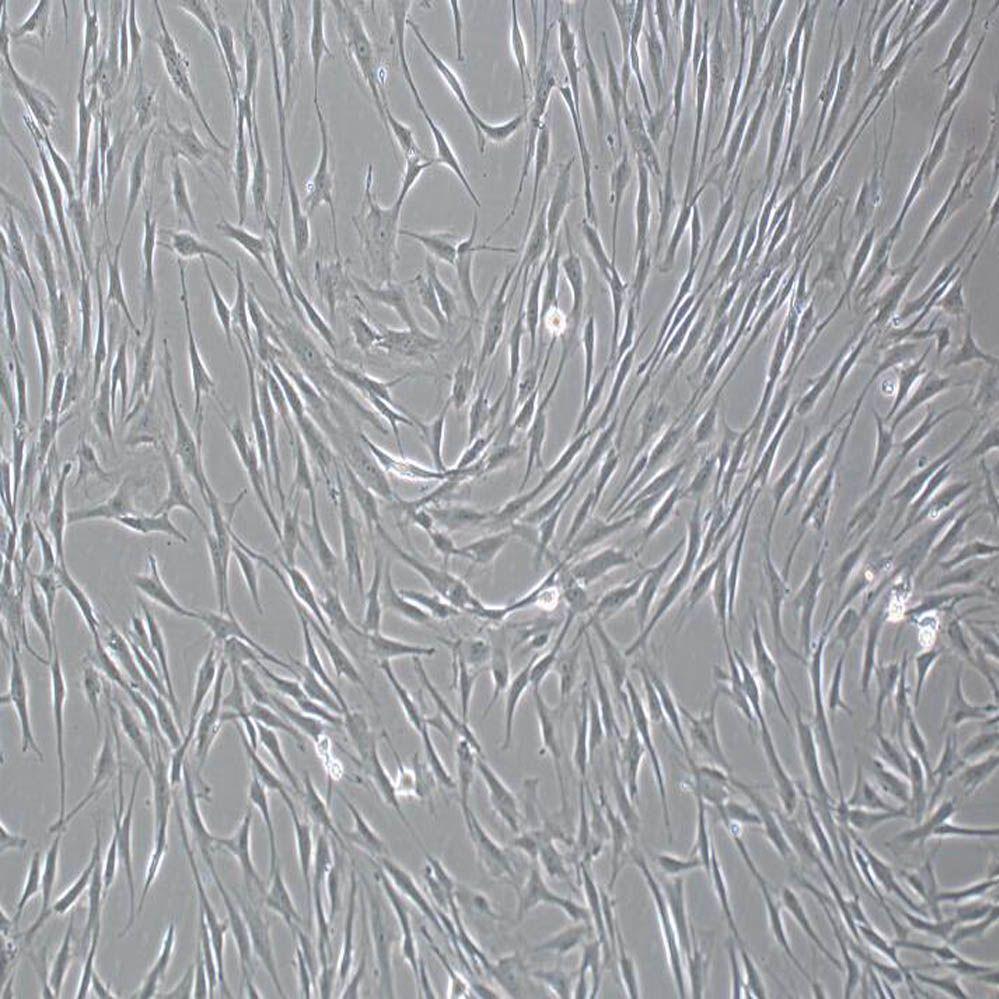 人骨髓间充质干细胞